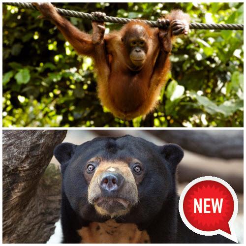 orangutan-sunbear-new
