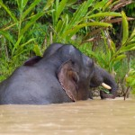 Elephant in Kinabatangan River